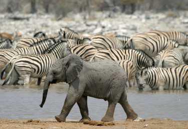 Kleiner Elefant und Zebras im Etosha Nationalpark  © Foto: Melissa Schalke | Dreamstime