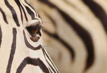 Zebra in Etosha, Namibia  © Foto: Alex Peyer | Sunway Safaris